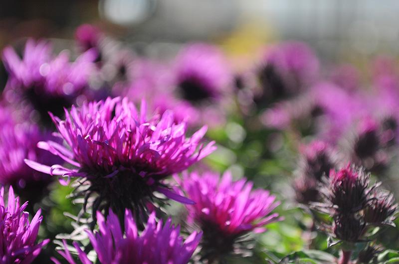 Adams_Gardens_Flowers