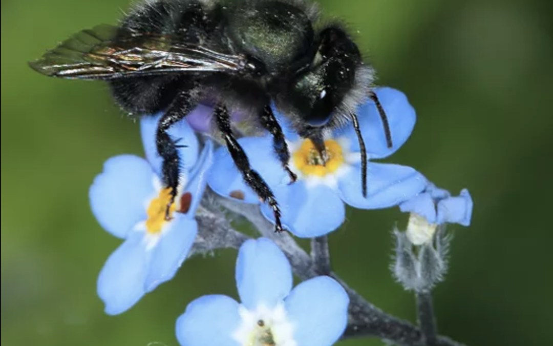 Which Bees are Best for Pollinating Early Blooming Flowers, Trees and Shrubs?  The Orchard Mason Bees