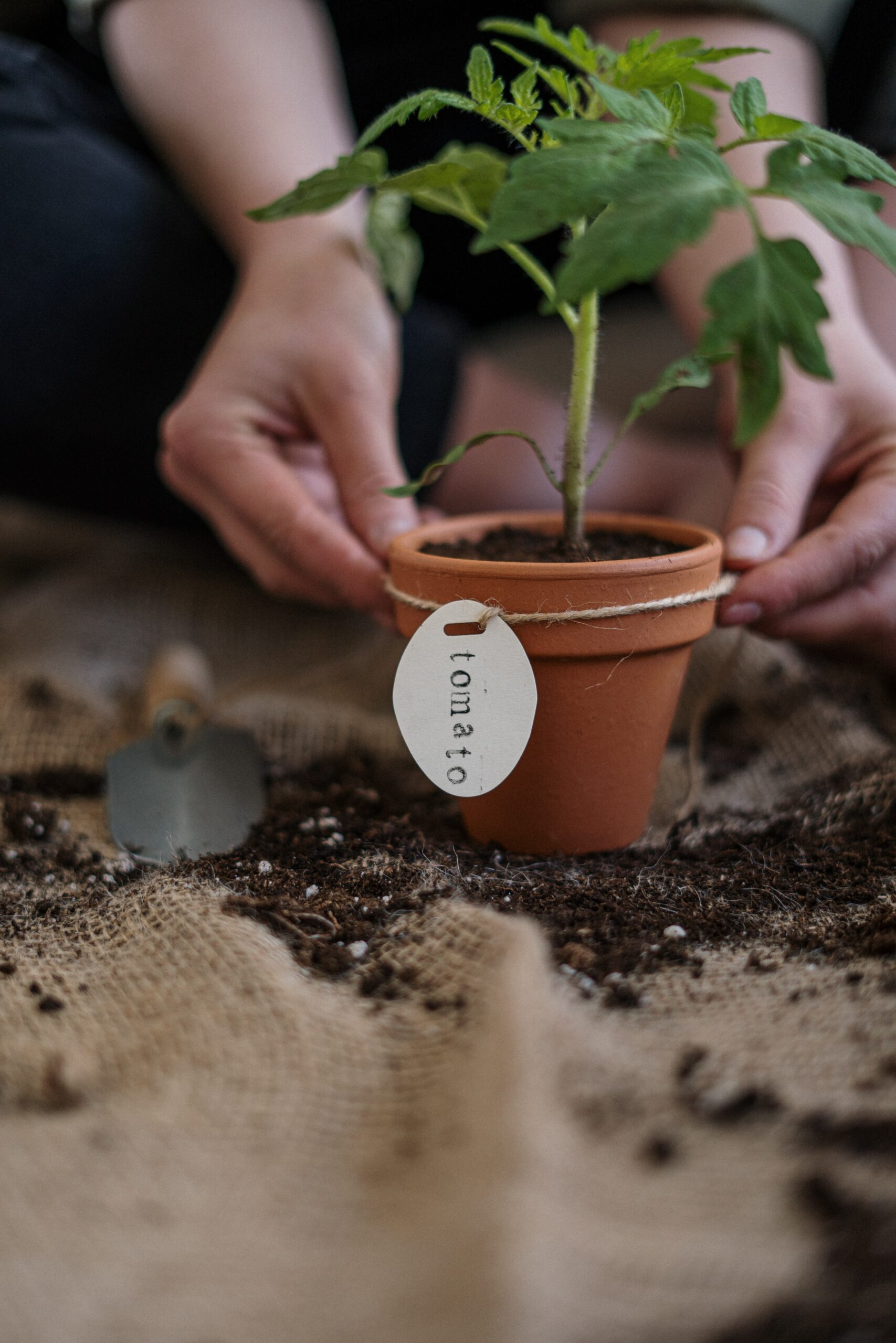 When to Plant Tomato in Nampa